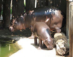 Sweden: Pygmy hippopotamus born in Parken Zoo