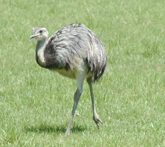 A Runaway Rhea and Other News...